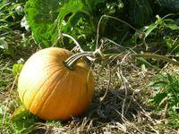 Lone Pumpkin FROG Community Garden (Large)