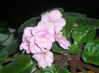 Africal Violet (Large)