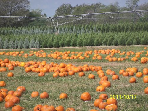 Dewberry Farm Pumpkins and Trees